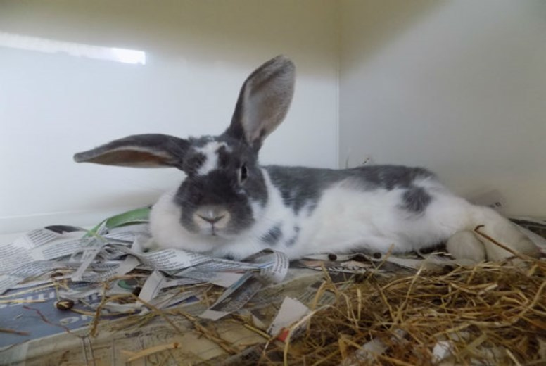 Sassy the rabbit (Scottish SPCA)