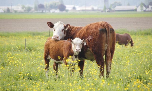Cow and calf (Getty Images/iStock)