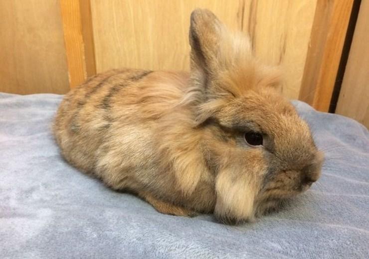 Margo the rabbit (Scottish SPCA)