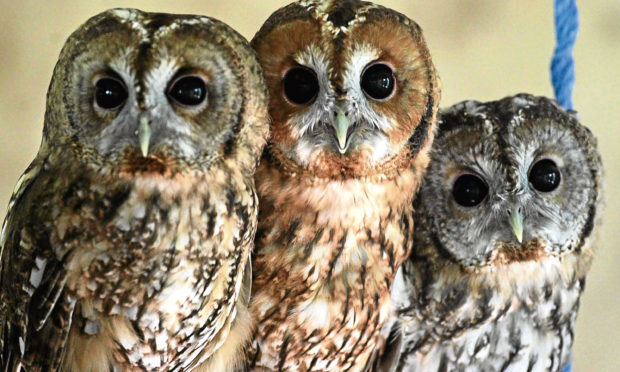 Baby tawny owls (Getty Images)