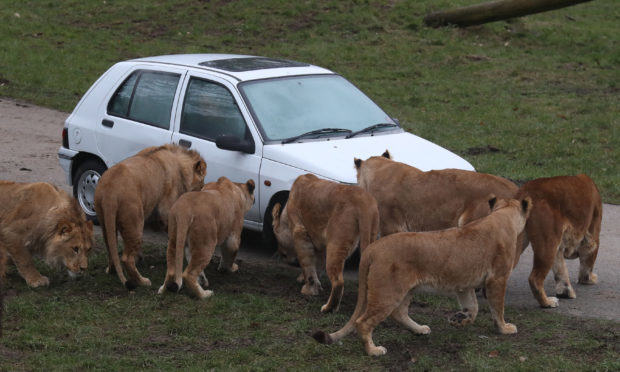 Lions look at a smoke filled car at Blair Drummond Safari Park, near Stirling, as staff simulated a car fire inside the lion enclosure to test the response of animal handlers and the fire service. (Andrew Milligan/PA Wire)