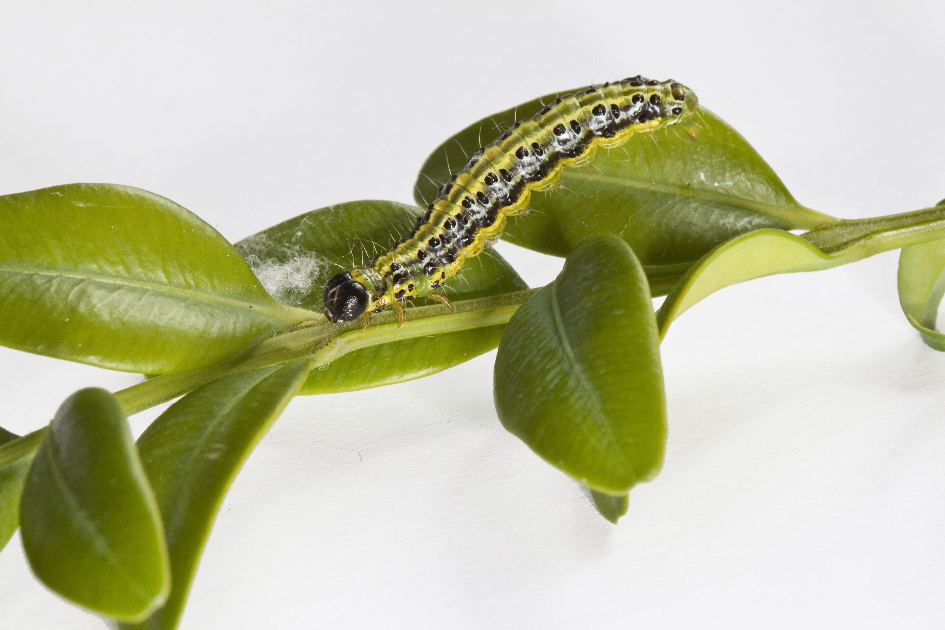 A box tree moth caterpillar (Carol Sheppard/RHS/PA Wire)