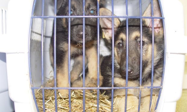 Many of the animals seized were victims of the illegal puppy trade (Scottish SPCA)