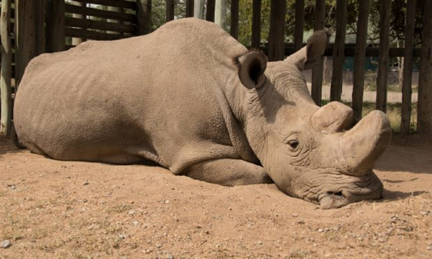 The world's oldest white male rhino, Sudan, has died aged 45 (Ol Pejeta)