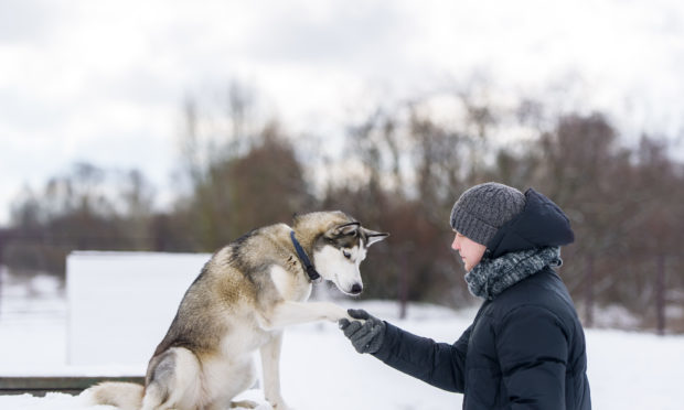 Would you like to work at a husky centre? (iStock/Getty Images)