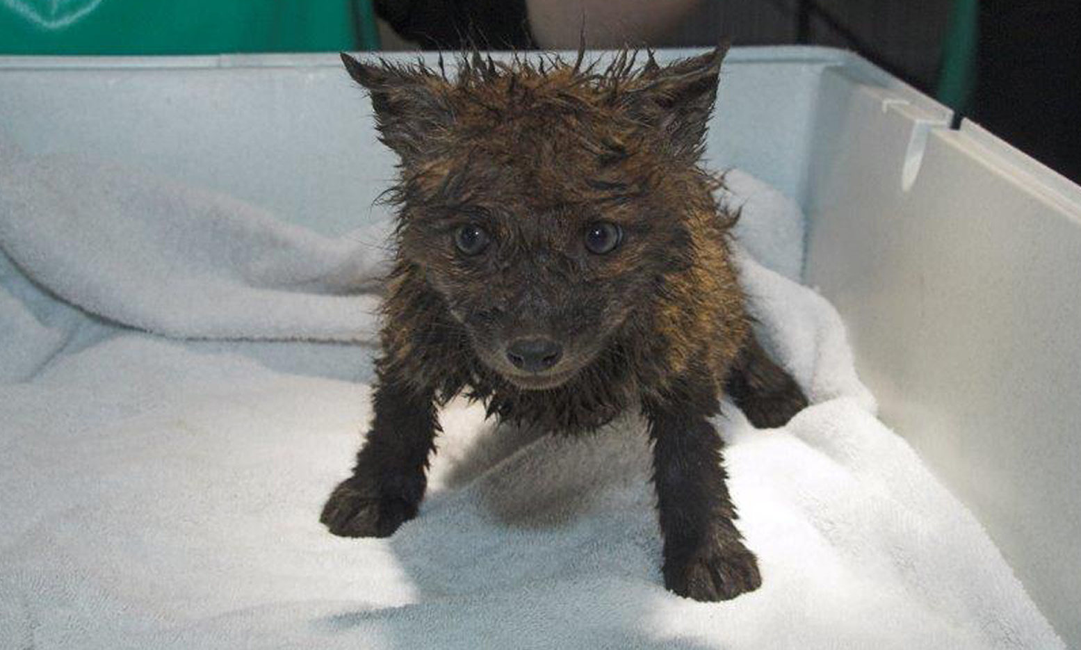A six week old fox cub was found covered in mud and petrol in a skip (Scottish SPCA/PA Wire)