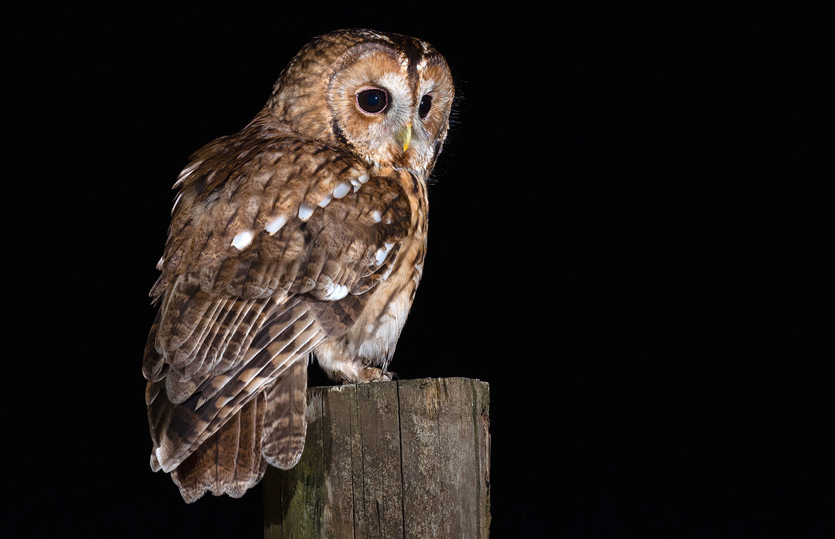 A Tawny Owl (Laurence Liddy/BTO/PA Wire)
