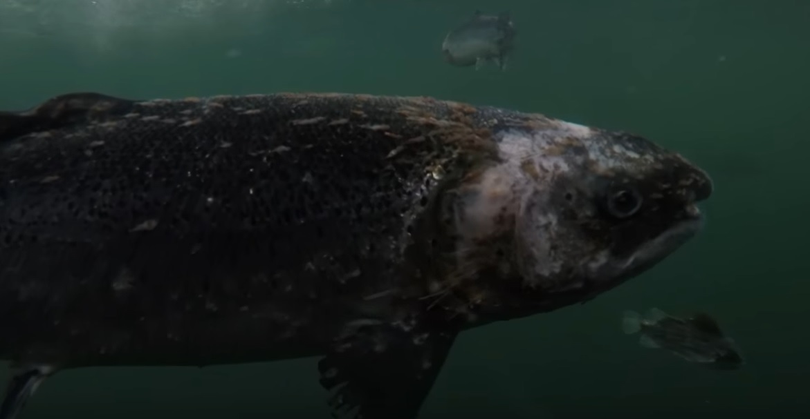 A salmon with extreme sea lice lesions filmed at the Scottish Salmon Company's fish farm on Lewis.