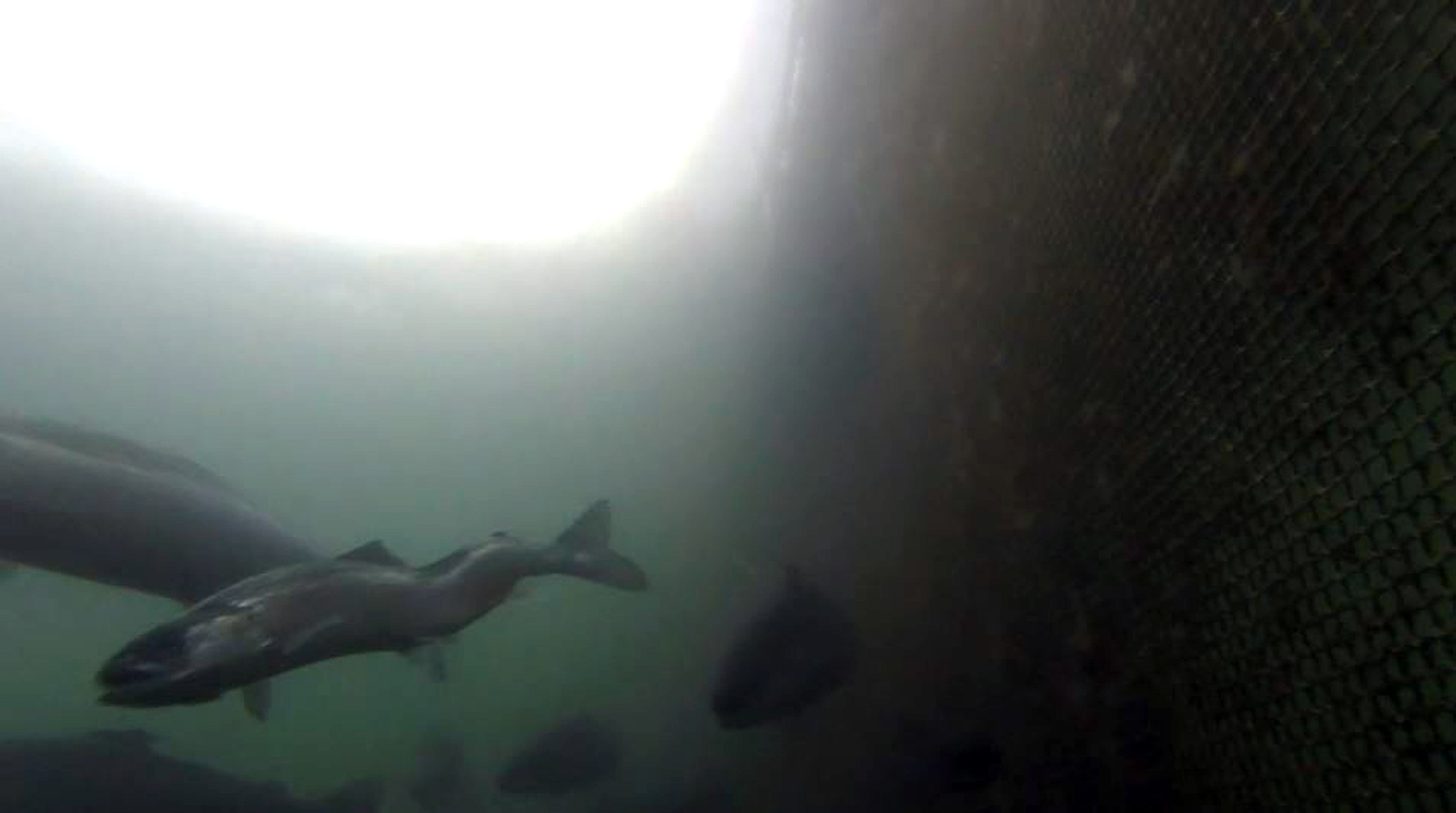 Salmon with spinal deformities were filmed in Loch Fyne, Argyll