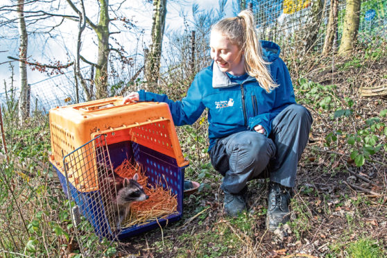 Thanks fur everything: Meeko the racoon given a new home