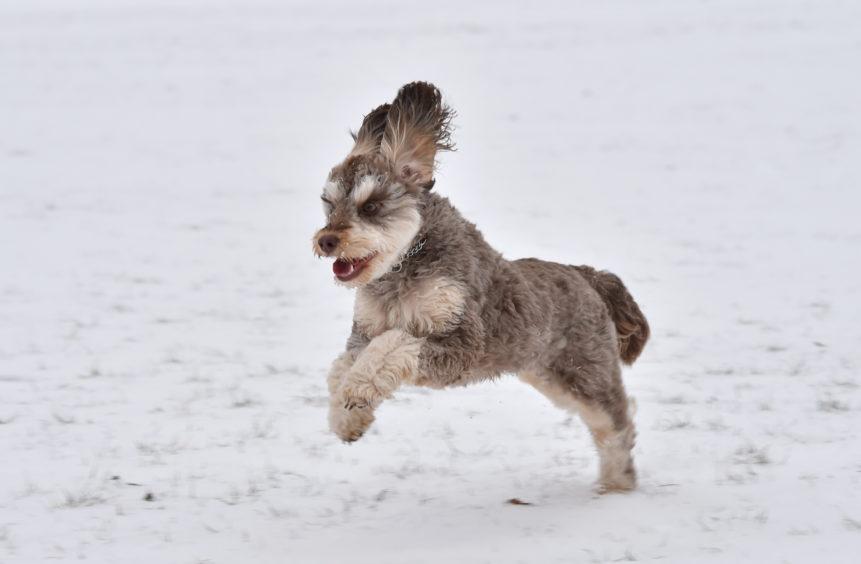 Farah the Cockapoo enjoys the snow in Aberdeen's Duthie Park