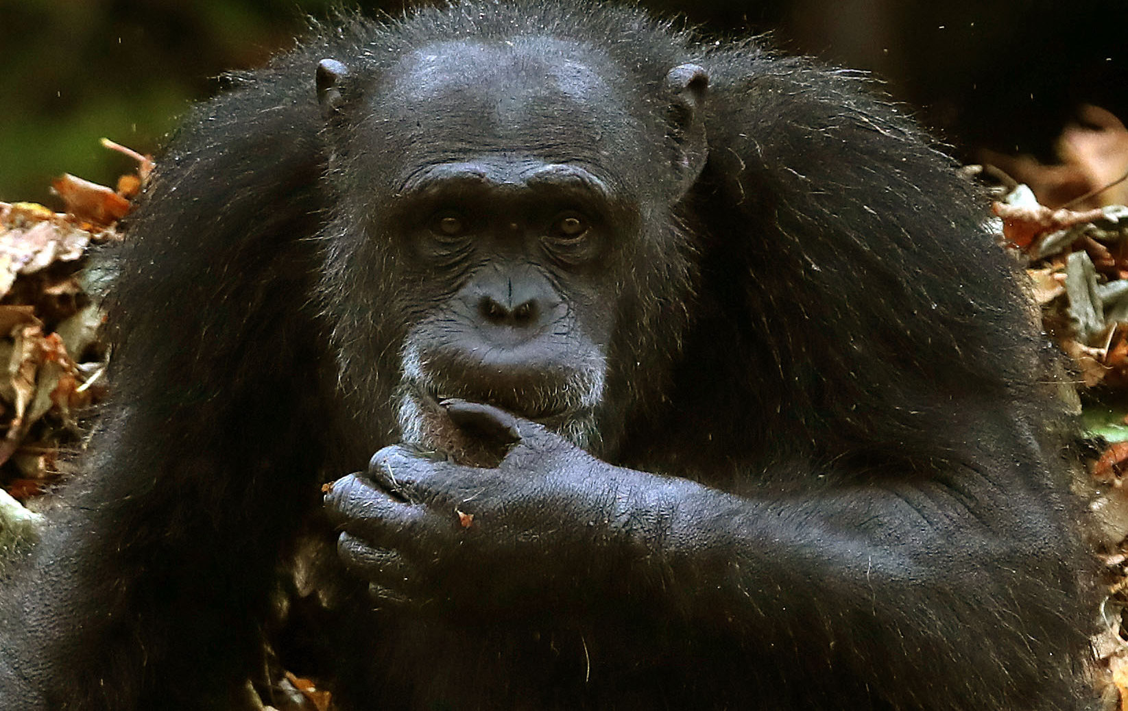 Research has shown that chimp sign language apes the way humans communicate (Andrew Milligan/PA Wire)