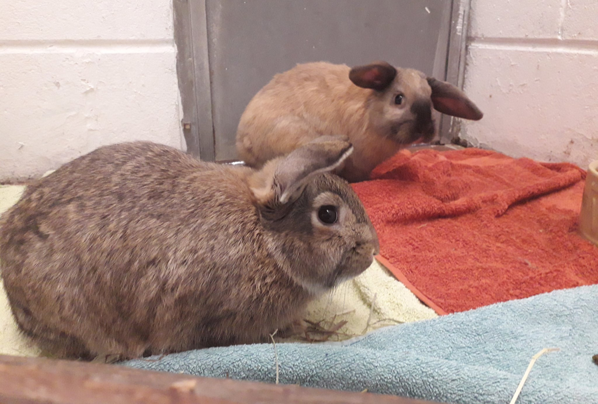The abandoned rabbits (Scottish SPCA)