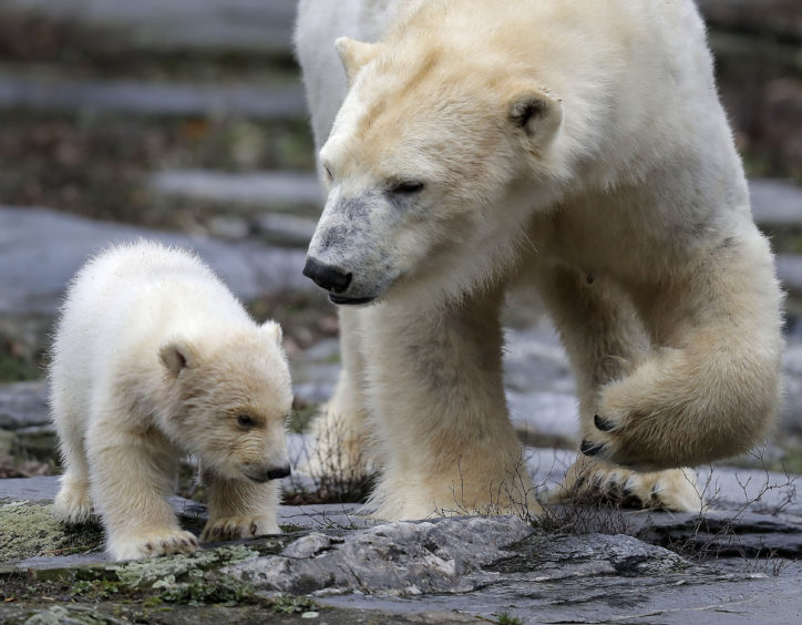 A female polar bear baby walks with its mother Tonja through their enclosure at the Tierpark zoo in Berlin, The still unnamed bear, born Dec. 1, 2018 at the Tierpark, is presented to the public for the first time.