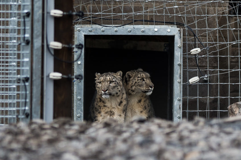 Two six-year-old, female snow leopards, Nela and Aruna, at Five Sister's Zoo in West Lothian. They were rehomed after a four-year legal battle over ownership