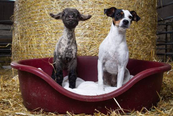 Ivy the Jack Russell terrier adopted an unwell lamb after it was born on her farm. Location: Arnbeg Farm, near Kippen.