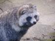 A raccoon dog at Ardgowan
