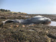 The whale washed up at Dunbar