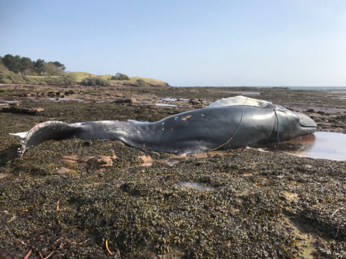 Body of washed up humpback whale to be removed from East Lothian beach