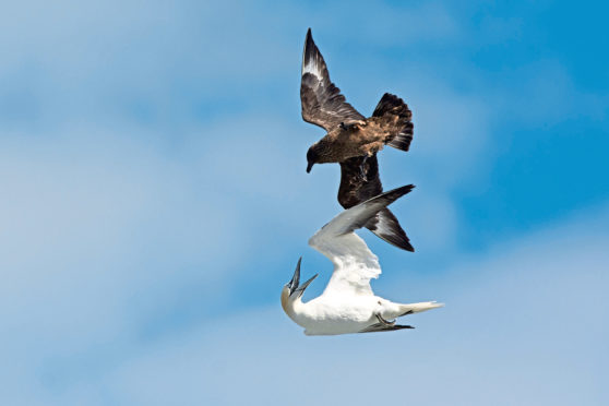 Great Skua, Stercorarius skua, attacking Gannet on route back to its colony, to make it disgorge fish, behavior known as Kleptoparasitism, parasitism by theft, Hermaness, Unst, Shetland.
