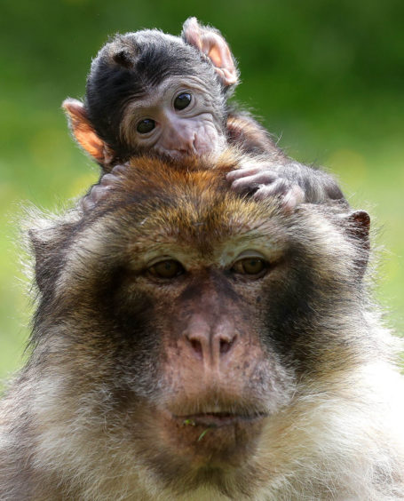 A tiny Barbary Macaque clings on to his mother as staff at Blair Drummond Safari Park near Stirling celebrate a baby boom with four primate births