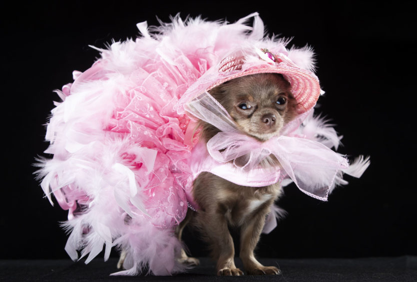 Show mascot Genevieve, a long coat Chihuahua, looks adorable wearing a fairy dress at Furbabies Dog Show in Wetherby, West Yorkshire