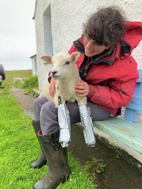 WATCH: Adorable lamb on Shetland given 'bionic' legs after debilitating illness - Sunday Post
