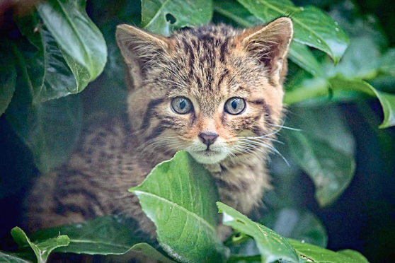 A rare Scottish wildcat kitten