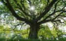 A majestic old oak