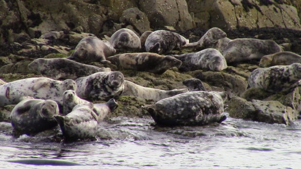 Grey seals basking in the sun on a rocky island. Their distinctive song brought back memories of solstice